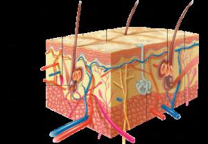 структура кожи лица
